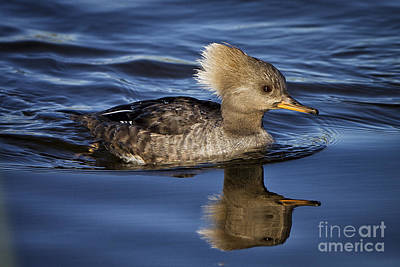 Photograph - Female Hooded Merganser by Ronald Lutz