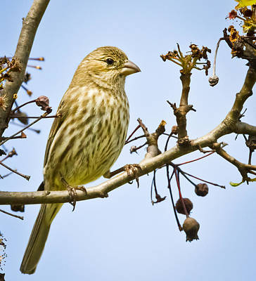 Photograph - Female House Finch by Ricky L Jones