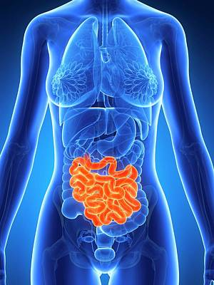 Internal Organs Photograph - Female Intestine by Sebastian Kaulitzki