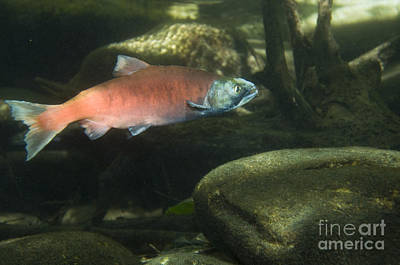 Kokanee Salmon Photograph - Female Kokanee Salmon by William H. Mullins