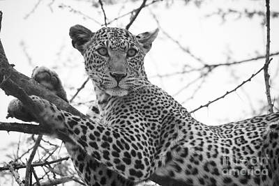 Photograph - Female Leopard by Howard Kennedy