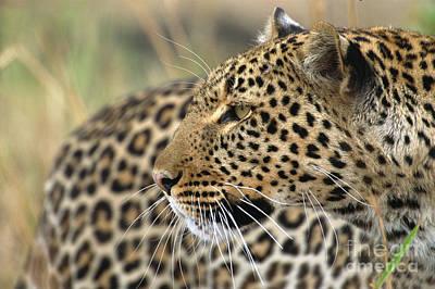 Masai Mara Photograph - Female Leopard Portrait Masai Mara by Yva Momatiuk John Eastcott