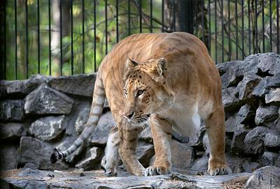 Female Liger In A Zoo Art Print by Science Photo Library