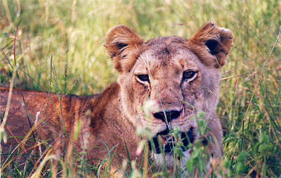 Photograph - Female Lion After A Kill by Belinda Greb