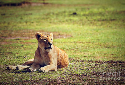 Female Lion Lying. Ngorongoro In Tanzania Art Print by Michal Bednarek