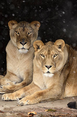 Photograph - Female Lions by Ann Bridges