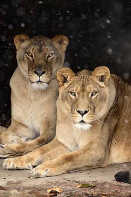Photograph - Female Lions by Ann Bridges