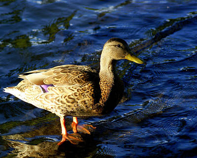 Photograph - Female Mallard by DerekTXFactor Creative