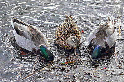 Photograph - Female Mallard Duck And Her Two Suitors by Susan Wiedmann