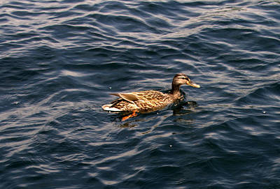 Photograph - Female Mallard Duck by Linda Rae Cuthbertson