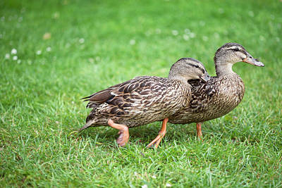 Anas Platyrhynchos Photograph - Female Mallard Duck Rivalry by Simon Booth