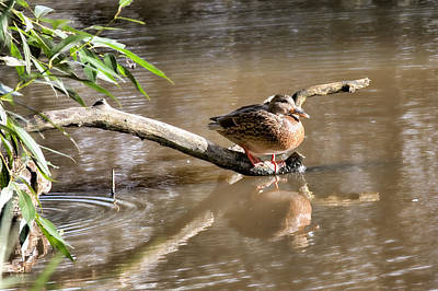 Female Mallard Duck Sitting On A Log Near  And Reflected In Water Art Print