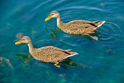 Photograph - Female Mallard Ducks by Denise Mazzocco