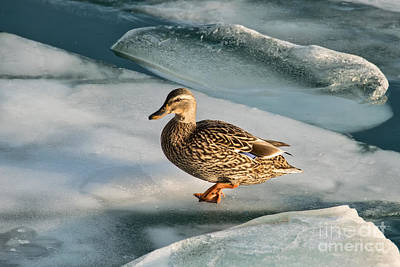 Photograph - Female Mallard In A Cold World by Gerda Grice