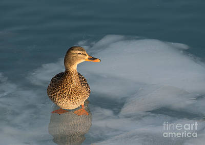 Photograph - Female Mallard In Icy Water by Gerda Grice
