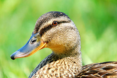 Photograph - Female Mallard Duck by Crystal Wightman