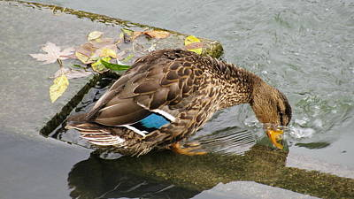Photograph - Female Mallard With Beautiful Blue Wing by Simply  Photos