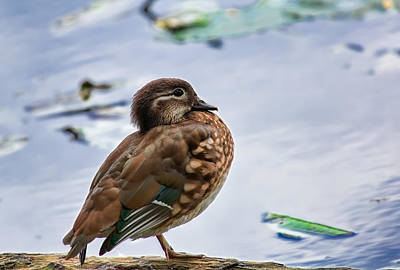 Ethereal - Female mandarin duck standing in profile on one leg by Leif Sohlman
