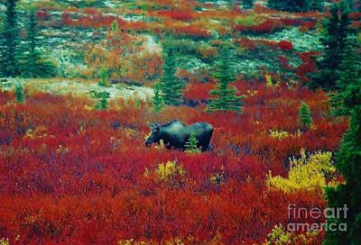 Photograph - Female Moose by D Hackett