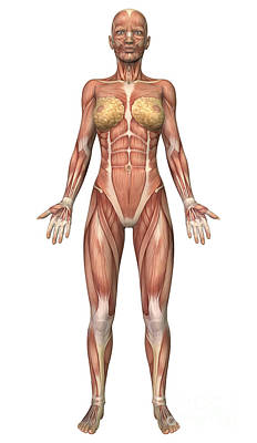 Muscular Digital Art - Female Muscular System, Front View by Stocktrek Images