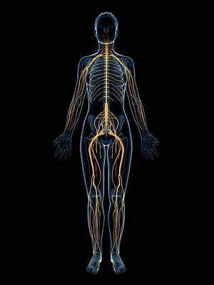 Biomedical Illustration Photograph - Female Nervous System by Sebastian Kaulitzki