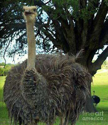 Photograph - Female Ostrich by Rachel Munoz Striggow