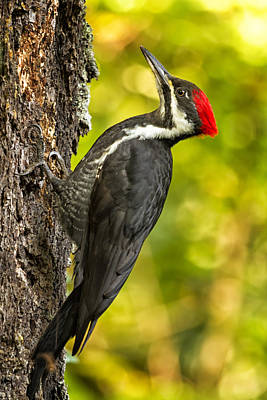 Photograph - Female Pileated Woodpecker No. 2 by Belinda Greb