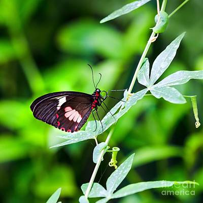 Female Pink Cattleheart Butterfly Art Print by Jane Rix