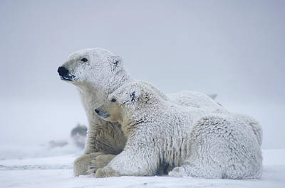 Winter Photograph - Female Polar Bear Resting With Her Two by Steven Kazlowski