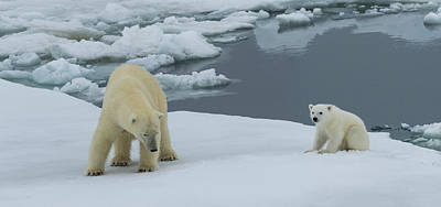 Bears Island Photograph - Female Polar Bear Ursus Maritimus by Panoramic Images