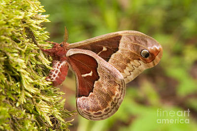 Photograph - Female Promethea Moth by Gregory K Scott