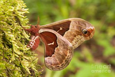 Photograph - Female Promethea Moth by Gregory K Scott