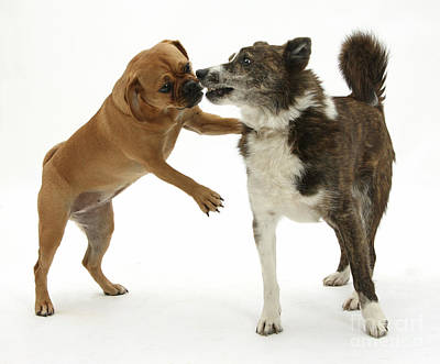 Puggle Photograph - Female Puggle And Mongrel Dog by Mark Taylor