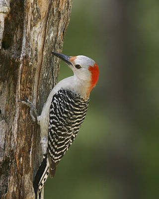 Photograph - Female Red-bellied Woodpecker by Robert Camp