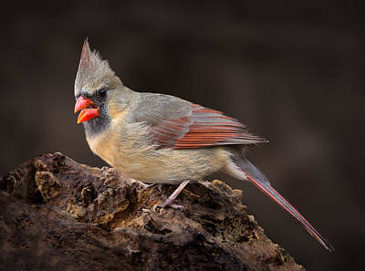 Print featuring the photograph Female Red Cardinal by Steve Zimic