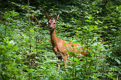 Photograph - Female Red Deer Looking At Camera From Edge Of Forest. by Peter Noyce