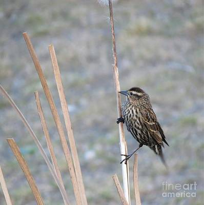 Photograph - Female Red Winged Blackbird by Chris Anderson
