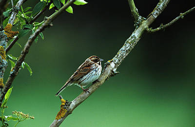 Female Reed Bunting Art Print