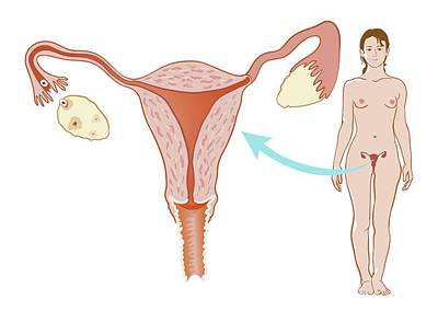 Female Reproductive System Art Print