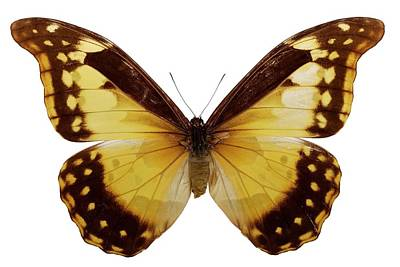 Morpho Wall Art - Photograph - Female Rhetenor Blue Morpho Butterfly by Pascal Goetgheluck/science Photo Library