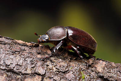 Rhinoceros Photograph - Female Rhinoceros Beetle by Frank Teigler