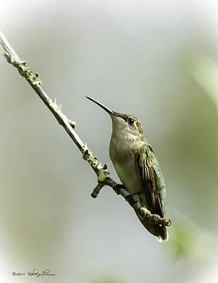 Female Ruby-throated Hummingbird 1 Art Print by Kathy Ponce