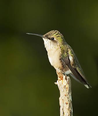 Photograph - Female Ruby Throated Hummingbird by John Vose