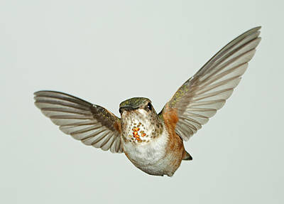 Female Rufous Hummingbird With Sequins Art Print by Gregory Scott