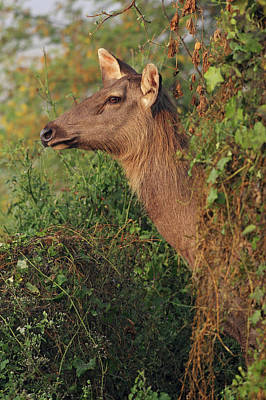 Grace Photograph - Female Sambar Deer,keoladeo National by Jagdeep Rajput