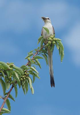 Photograph - Female Scissor Tailed Flycatcher by Billy  Griffis Jr