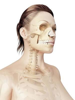 Biomedical Illustration Photograph - Female Skull by Sebastian Kaulitzki