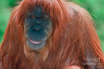 Photograph - Female Sumatran Orangutan by Connie Bransilver