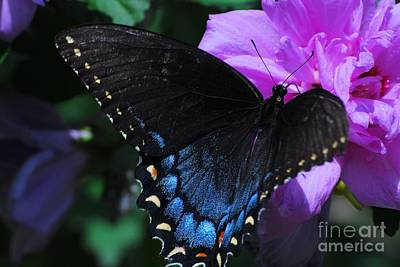 Photograph - Female Tiger Swallow Tail by Mark McReynolds