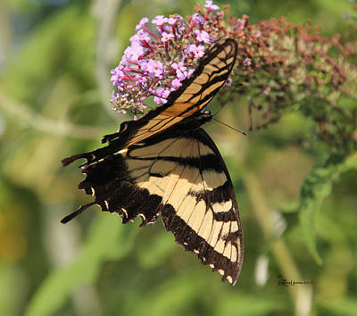 Photograph - Female Tiger Swallowtail-2 by Ericamaxine Price